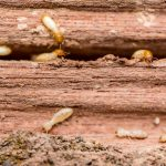 Pests in Sydney and Their Effects to Homes and Businesses