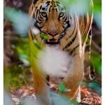 A beautiful and mesmerizing Jungle Safari in Pench and Tadoba National Park