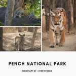 Pench Tiger Sightings | Pench National Park