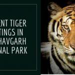 Current/Recent Tiger Sightings In Bandhavgarh National Park