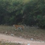 Difference between Tadoba Core and Tadoba Buffer Safari zones