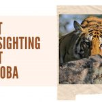 Tadoba National Park Tiger Sightings- Recent Sightings Report
