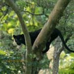 Increase your chances of Black Panther Sightings at Kabini