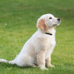 Golden Retriever Puppies for Sale – New York